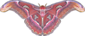 Atlas moth transparent.png