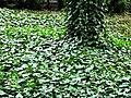 Atlas roslin pl Bluszcz pospolity 8497 7113.jpg