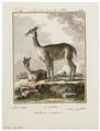 Auchenia vicugna - 1700-1880 - Print - Iconographia Zoologica - Special Collections University of Amsterdam - UBA01 IZ21600113.tif