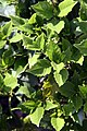 Aucuba japonica Emily Rose 2zz.jpg
