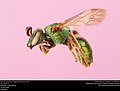 Augochlorella persimilis (23508828068).jpg