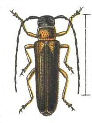Geißblatt-Linienbock (Oberea pupillata)