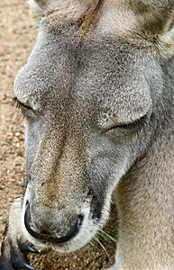 Australia Zoo Grey Kangaroo head macro-1and (3385953138).jpg