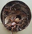 AustralianMuseum spider specimen 46.JPG