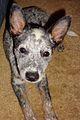 Australian Cattle Dog 2.5.JPG