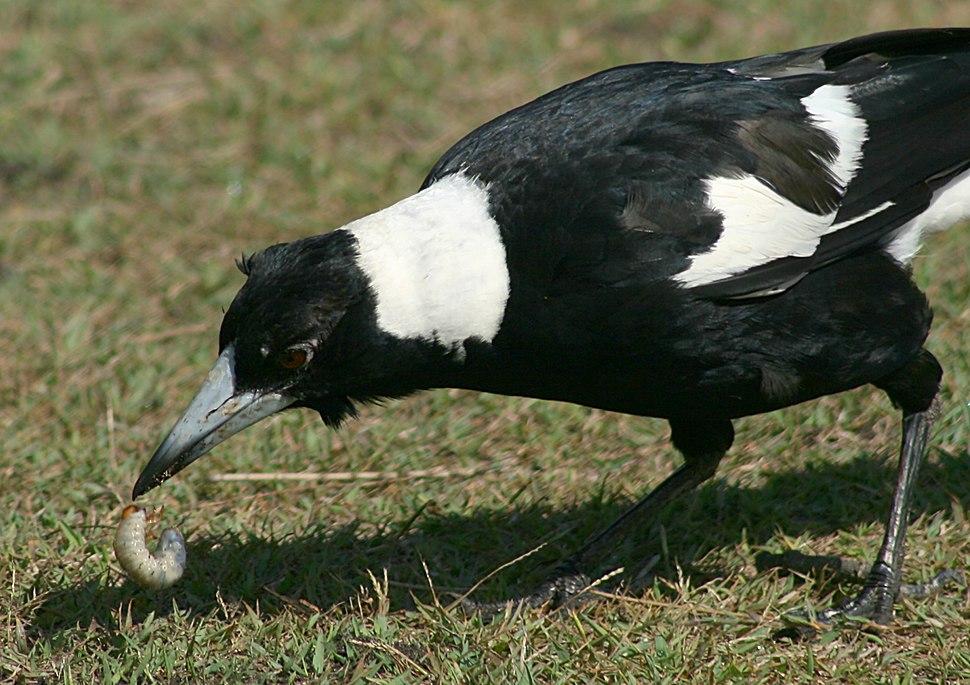 Australian Magpie Digging Grub