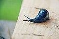 Babosa azul de los Cárpatos (8409561464).jpg