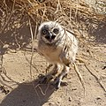 Baby burrowing owl (27283999126).jpg