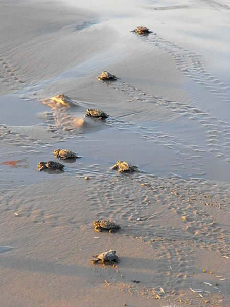 File:Baby sea turtles make their way toward the water.jpg