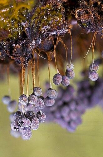 Myxogastria - Badhamia utricularis (Physarales)