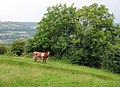Baffled cow, Bathampton Down - geograph.org.uk - 948829.jpg