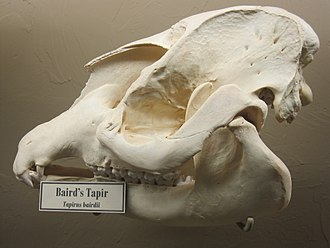Baird's tapir - Baird's tapir skull on display at the Museum of Osteology, Oklahoma City, Oklahoma.