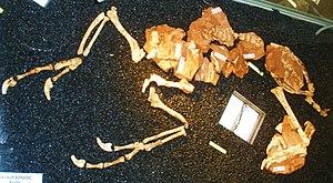 Balaur bondoc - Holotype specimen