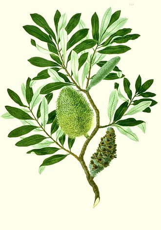 Sydney Parkinson - Image: Banksia integrifolia watercolour from Banks' Florilegium