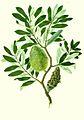 Banksia integrifolia watercolour from Banks' Florilegium.jpg