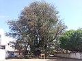 Baobá do Poeta (Adansonia digitata)-01.jpg