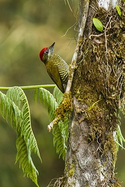 Bar-bellied Woodpecker - Ecuador S4E2727 (16222857138).jpg