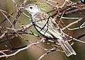 Bar-breasted Honeyeater (Ramsayornis fasciatus) from rear (cropped).jpg