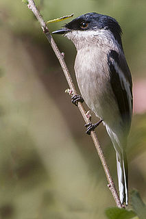 Bar-winged flycatcher-shrike species of bird