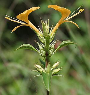 Barleria prionitis - Image: Barleria prionitis (Porcupine flower) in Hyderabad, AP W IMG 9998