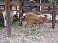 Barranquilla Zoológico Cabras.jpg