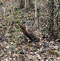 Barred Owl (Strix varia) - Flickr - Jay Sturner.jpg