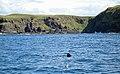 Basking shark off Eilean nan Each, Muck - geograph.org.uk - 1979200.jpg
