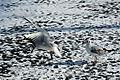 Bassin des Morts gelé, 2012-02-11, mouette rieuse 12.jpg