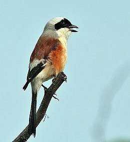Bay-backed Shrike (Lanius vittatus) at Sultanpur I Picture 052.jpg
