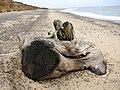 Beached below Easton Wood - geograph.org.uk - 2144815.jpg