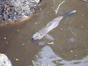 English: European beaver swimming at Highland ...