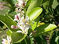Bee on citrus tree blossoms.jpg