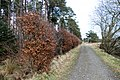 Beech Hedge - panoramio.jpg