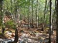 Beech forest Bijela gora Orjen range.JPG