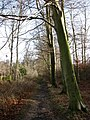 Beeches beside footpath - geograph.org.uk - 642678.jpg