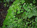 Begonia crenata (4894588162).jpg