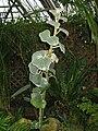Begonia venosa1.jpg