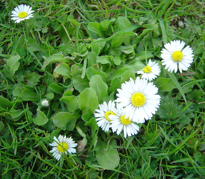 File bellis perennis wikimedia commons for Fiori campanelle