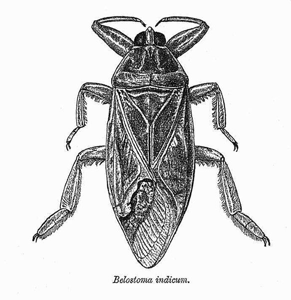 Archivo:Belostoma indicum.jpg