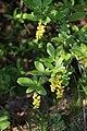 Berberis vulgaris 05.jpg