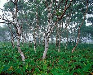Betula ermanii - Betula ermanii in Kuril nature reserve