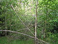 Betula forest after snow 1 beentree.jpg