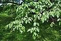 Betula schmidtii foliage.jpg