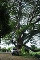 Big Old trees. - panoramio.jpg