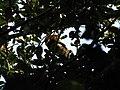 Bird Great Hornbill Buceros bicornis IMG 8659 34.jpg