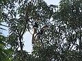Bird Malabar Pied Hornbill Anthracoceros coronatus IMG 2108 02.jpg