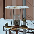 Birds at a birdfeeder in Botevgrad, Bulgaria 02.jpg