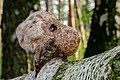 Birkenporling - birch polypore - birch bracket - razor strop - Piptoporus betulinus - 04.jpg