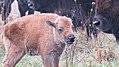 Bison calf at Neal Smith National Wildlife Refuge (38384441352).jpg
