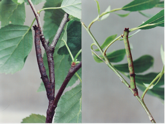 Polyphenism - Biston betularia caterpillars on birch (left) and willow (right), demonstrating a color polyphenism.